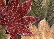 USA, Oregon, Frosted maple leaves, close-up by Danita Delimont
