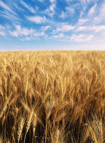 USA, Oregon, Eastern Oregon, View of wispy clouds above wheat field by Danita Delimont