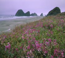 Wild Sweet Peas overlook the beach, Pistol River, Oregon by Danita Delimont