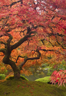 Japanese maple in fall color, Portland Japanese Garden, Oregon by Danita Delimont