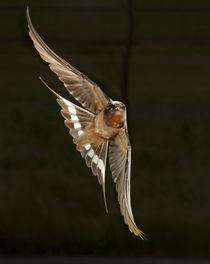 North America, USA, Pennsylvania, Barn Swallow, Hirundo rust... von Danita Delimont