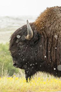 USA, South Dakota, Custer State Park von Danita Delimont