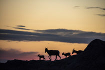 Bighorn ewes with lambs silhouetted against sunset sky in Ba... by Danita Delimont