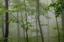 USA, Tennessee, Foggy morning at Roaring Fork Trail in the Smokies. von Danita Delimont