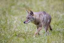 Coyote in field, Cades Cove, Great Smoky Mountains NP, TN by Danita Delimont