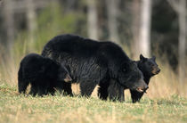 Black Bear female with cubs two, Great Smoky Mountains Natio... by Danita Delimont