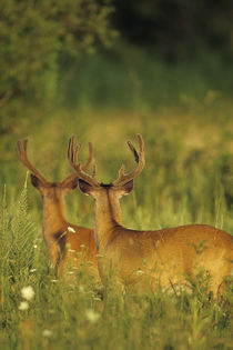 White-tailed Deer bucks in velvet, Tennessee by Danita Delimont