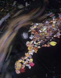 Fallen autumn leaves on Little Pigeon River, Great Smoky Mou... by Danita Delimont