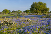 Hill Country, Texas, Bluebonnets, Oak Trees, and cactus by Danita Delimont