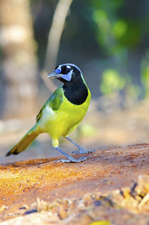 North America, USA, Texas, Rachal, Tacubaya, Green Jay Perched on Log by Danita Delimont