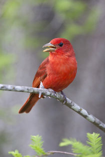 Summer Tanager male on perch von Danita Delimont
