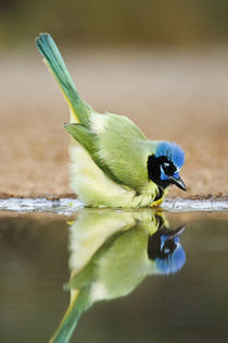 Green Jay adult bathing by Danita Delimont