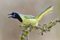 Green Jay adult calling by Danita Delimont