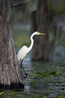 Great Egret on Caddo Lake, Texas von Danita Delimont