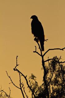 Harris's Hawk perched raptor by Danita Delimont