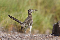 Greater Roadrunner in Texas by Danita Delimont