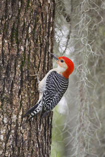 Red-bellied Woodpecker male on oak von Danita Delimont