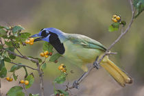 Green Jay adult eating anaqua fruits, Texas by Danita Delimont