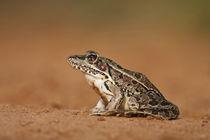 Rio Grande Leopard Frog sunning, Texas von Danita Delimont