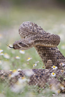 Western Diamondback Rattlesnake coiled to strike by Danita Delimont