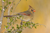 Northern Cardinal female perched on branch von Danita Delimont