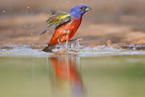 Painted Bunting adult male at a south Texas pond von Danita Delimont