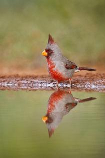 Pyrrhuloxia male bathing at south Texas pond von Danita Delimont