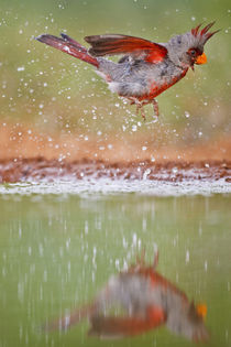 Pyrrhuloxia male bathing at south Texas pond von Danita Delimont