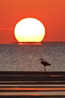 Great Blue Heron standing by Laguna Madre at sunset von Danita Delimont