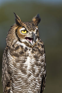 Great Horned Owl resting on perch in central Texas von Danita Delimont