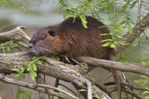 Nutria adult sunning in bald cypress branches, east Texas von Danita Delimont