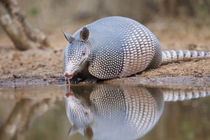 Nine-banded Armadillo drinking at pond in south Texas von Danita Delimont