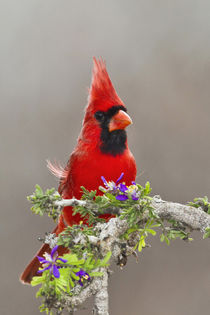 Northern Cardinal, Cardinalis cardinalis, adult male perched... by Danita Delimont