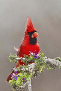 Northern Cardinal, Cardinalis cardinalis, adult male perched... von Danita Delimont
