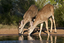 White-tailed Deer young drinking at ranch pond in south Texas by Danita Delimont