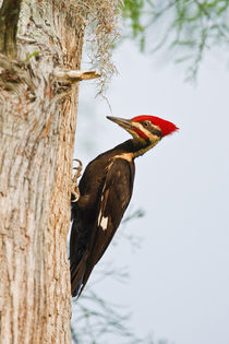 Piliated Woodpecker female perched on bald cypress, Caddo Lake, Texas von Danita Delimont