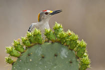 Golden-fronted Woodpecker adult male perched on prickly pear cactus by Danita Delimont