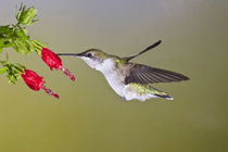 Ruby-throated Hummingbird female feeding at Turk's cap flower, Texas by Danita Delimont