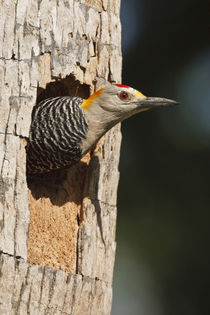 Golden-fronted Woodpecker adult at nest cavity in palm, McAllen, Texas by Danita Delimont
