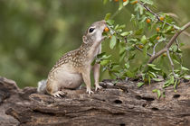 Mexican Ground Squirrel feeding on granjeno fruits in south Texas von Danita Delimont
