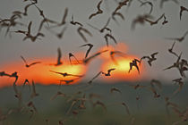 Mexican Free-tailed Bats emerging from Frio Bat Cave, Concan... von Danita Delimont