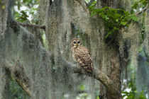 Barred Owl in bald cypress forest on Caddo Lake, Texas von Danita Delimont