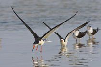 Black Skimmers on the Laguna Madre, Texas, spring by Danita Delimont