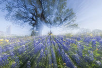 Texas Bluebonnets in bloom, central Texas, spring by Danita Delimont