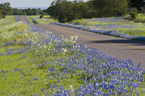 Texas Bluebonnets in bloom, central Texas, spring von Danita Delimont