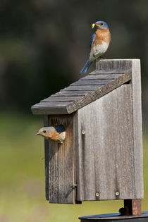 Eastern Bluebird at nest box feeding young, Texas hill country, May von Danita Delimont
