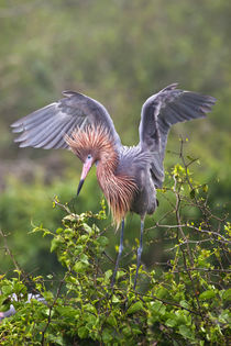 Reddish Egret adult in breeding plumage, Green Island Sanctu... by Danita Delimont