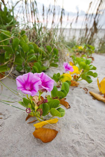 Beach Morning Glory on dune, Gulf of Mexico, Texas, USA. von Danita Delimont