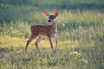 White-tailed Deer fawn, Texas, USA. von Danita Delimont