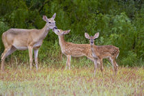 White-tailed Deer young with mother, Texas, USA. by Danita Delimont